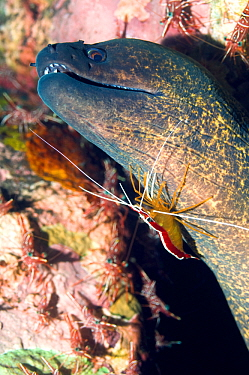 Yellow-edged moray eel (Gymnothorax flavimarginatus) being cleaned by a Hump-back cleaner shrimp (Lysmata amboinenis) with Hinge-beak prawn, Durban shrimps (Rhynchocinetes durbanensis) on coral rock i...  -  Georgette Douwma/ npl