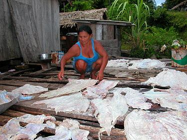 Woman rubbing salt into fillets of Caiman meat (Caiman crocodilus) on floating house in Amazon Rainforest, in Piagacu-Purus Sustainable Development Reserve, Amazonas State, Northern Brazil  -  Luiz Claudio Marigo/ npl