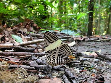 Zebra mosaic butterfly (Colobura dirce) and grasshoppers sucking mineral salts from faeces of carnivore in Amazon Upland Rainforest of Manu National Park, Cusco Department, Peru  -  Luiz Claudio Marigo/ npl