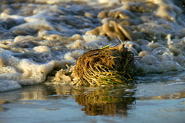 Sea couch grass (Agropyrons repens) washed up by high tide, Somerset, England, August 2009  -  David Woodfall/ npl