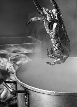 Cooked edible crab (Cancer pagurus) being lifted from a pot of boiling water, England, UK, 2009  -  Toby Roxburgh/ npl