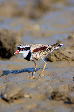 Black-Fronted dotterel (Charadrius, Elseyornis melanops) foraging on mud Northern Territory, Australia  -  Roger Powell/ npl