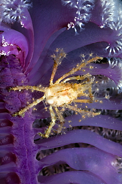Hydroid or Fairy crab (Hyastenus bipinosus) on Sea pen (Pteroides sp) where it has climbed to feed on plankton floating past It has decorated its body with hydroid polyps Majidae, Spider or Decorator...  -  Georgette Douwma/ npl