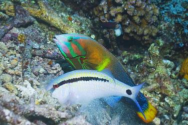 Dash-and-dot goatfish (Parupeneus barberinus) digging for food such as molluscs, crustaceans and urchins, in coral rubble, shadowed by a Yellowtail Coris (Coris gaimard) Misool, Raja Ampat, West Papua...  -  Georgette Douwma/ npl