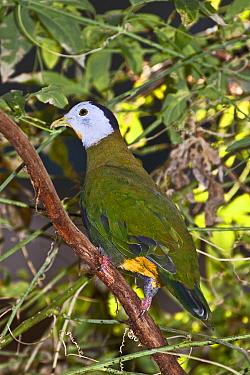 Black-naped fruit dove (Ptilinopus melanospila) captive, from Southern Philippines, Java, Bali  -  Rod Williams/ npl