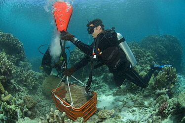 Craig Humphrey and Katharina Fabricius collecting Porites coral head for Coral Life census, Great Barrier Reef, Australia 2008  -  Jurgen Freund/ npl