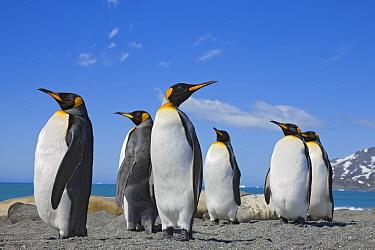 King Penguins (Aptenodytes patagonicus) on beach, St Andrews Bay, South Georgia Island, Southern Ocean, Antarctic Convergence  -  Ingo Arndt/ npl