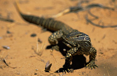 Gould's, sand monitor (Varanus gouldii) Kalbarri NP, Western Australia  -  Martin Gabriel/ npl