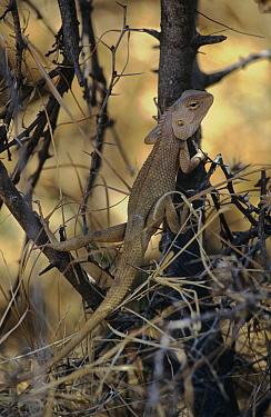 Garden lizard (Calotes versicolor) climbing bush, Ranthambore NP, Rajasthan, India  -  Bernard Castelein/ npl