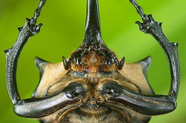 Close up of head and prothorax of male Elephant beetle (Megasoma Elephas) with horns, Santa Rita, Costa Rica  -  Bence Mate/ npl