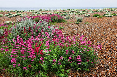 Red valerian (Centranthus ruber) in flower on shingle, with Sea kale (Crambe maritma) in background Shoreham Beach LNR, Sussex, England, UK  -  Simon Colmer/ npl