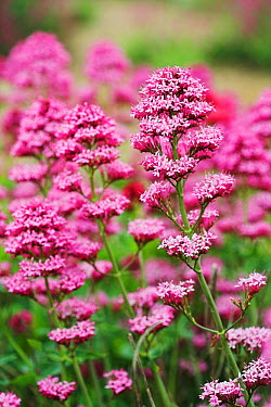 Red valerian (Centranthus ruber) in flower on shingle, Shoreham Beach LNR, Sussex, England, UK  -  Simon Colmer/ npl