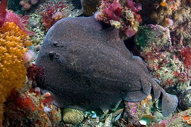 Marbled electric ray (Torpedo mamorata) on seabed, Channel Isles, UK, June  -  Sue Daly/ npl