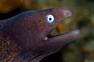 White-eyed, Grey faced moray eel (Siderea thyrsoidea) portrait, Lembeh Straits, Sulawesi, Indonesia  -  Sue Daly/ npl