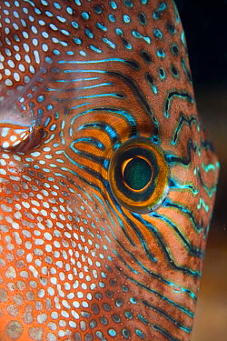 Eye of Toby, Pufferfish (Canthigaster sp) Lembeh Straits, Sulawesi, Indonesia  -  Sue Daly/ npl