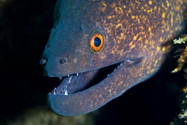 Head of Yellow-margined moray eel (Gymnothorax flavimarginatus) Lembeh Straits, Sulawesi, Indonesia  -  Sue Daly/ npl
