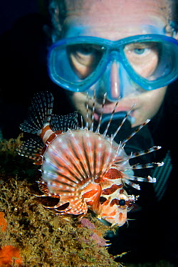 Diver observing a Spotted lionfish (Pterois antennata) displaying, Lembeh Straits, Sulawesi, Indonesia  -  Sue Daly/ npl