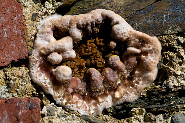 Dry rot (Serpula lacrymans) fruiting body producing droplets of water during the growth phase This allows it to push through masonary and wood UK  -  Sinclair Stammers/ npl