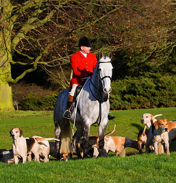 Huntsman of the Thurlow Hunt on his grey hunter with his pack of modern foxhounds, Suffolk, England, United Kingdom December 2009  -  Kristel Richard/ npl