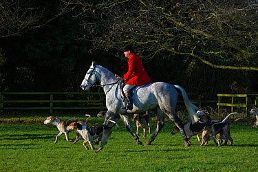 Huntsman of the Thurlow Hunt on his grey hunter riding off with his pack of modern foxhounds, Suffolk, England, United Kingdom December 2009  -  Kristel Richard/ npl