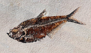 Fossil of the fish (Diplomystus dentatus) from the Eocene period, Green River Formation, Kemmerer, Wyoming, USA 55 million years old Composite panorama high resolution image  -  Sinclair Stammers/ npl