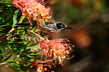 New Holland, Honey winged honeyeater (Phylidonyris novaehollandiae) feeding on Grevillea sp flowers, Margaret River, Western Australia December  -  Mike Potts/ npl