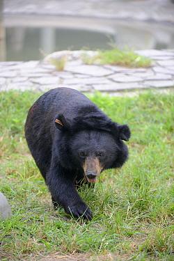 Asiatic black bear (Ursus thibetanus) with amputated limb, Chengdu rescue centre of the Animal Asia Foundation, Sichuan, China September 2008  -  Eric Baccega/ npl