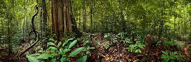 Strangler fig tree (Ficus sp) in Danham Valley, Sabah, Borneo, September 2008  -  Neil Lucas/ npl
