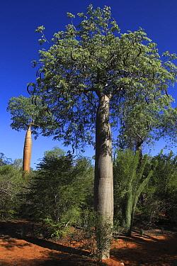 Baobab tree (Adansonia rubrostipa) and Fengoke tree (Delonix decaryi) (centre) Reniala Reserve, Madagascar  -  Alan Watson/ npl