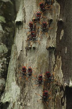 Assassin bugs (Platymeris sp) on tree trunk in tropical deciduous forest, Zombitse-Vohibasia National Park, Madagascar  -  Alan Watson/ npl