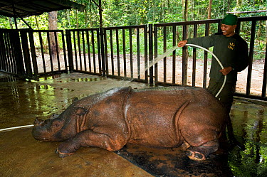 Sumatran rhino (Dicerorhinus sumatrensis) within veterinary enclosure, being washed with a hose pipe Captive-Sumatran Rhino Sanctuary, within Way Kambas National Park, Lampung Province, southern Sumat...  -  Mark Carwardine/ npl