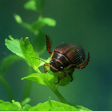 Diving beetle (Dytiscus circumcintus) underwater, Montiaghs Moss NNR, County Antrim, Northern Ireland, UK  -  Robert Thompson/ npl
