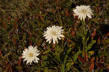 Vanilla Daisy (Leucheria suaveolens) in flower between November and January Native to the Falklands and fairly common Keppel Island Off north coast of West Falkland Falkland Islands  -  Pete Oxford/ npl