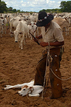 Cowboy 'Boiadeiro' (Sebasti?o Silva) and Pantanal calf to be ear marked They only cut a very small notch as these cattle use their ears as sun shades Mato Grosso do Sul Province Brazil, South America...  -  Pete Oxford/ npl