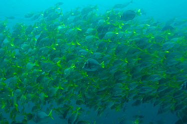 Shoal of Yellowtail Grunts (Anisotremus interruptus)  -  Pete Oxford/ npl
