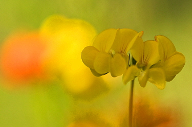Grey bird's-foot trefoil (Lotus cytisoides) flowers, Menorca, Balearic Islands, Spain, Europe  -  Edwin Giesbers/ npl