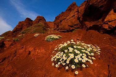 Sea camomile (Anthemis maritima) flowering on rocks at coast, Menorca, Balearic Islands, Spain, Europe May 2009  -  Edwin Giesbers/ npl