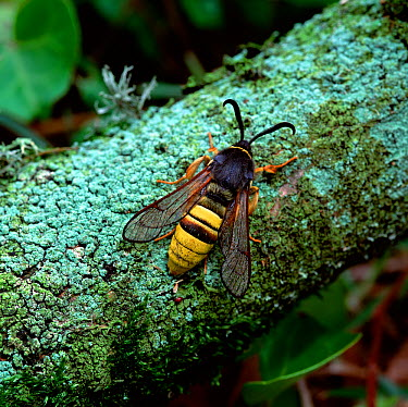 Lunar hornet moth (Sesia bembeciformis) resting on branch, Brackagh Moss NNR, County Down, Northern Ireland, UK, May  -  Robert Thompson/ npl