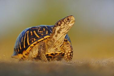 Portrait of Ornate Box Turtle (Terrapene ornata) Sinton, Corpus Christi, Coastal Bend, Texas Coast, USA  -  Rolf Nussbaumer/ npl