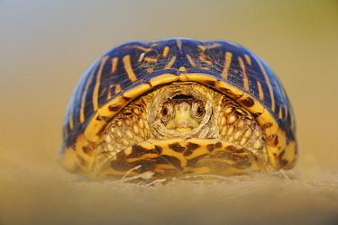 Portrait of Ornate Box Turtle (Terrapene ornata) with head retracted into shell Sinton, Corpus Christi, Coastal Bend, Texas Coast, USA  -  Rolf Nussbaumer/ npl