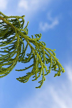 Rimu, Red pine tree (Dacrydium cupressinum)  -  Mark Carwardine/ npl