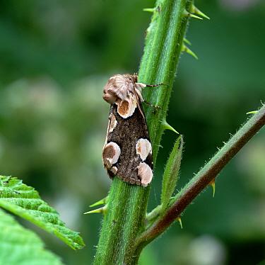 Peach blossom moth (Thyatira batis) resting on bramble stem, Castlewellan Forest Park, County Down, Northern Ireland, UK, May  -  Robert Thompson/ npl