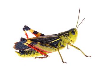 Grasshopper (Arcyptera fusca) male, Austria, July 2008  -  WWE/ Benvie/ npl