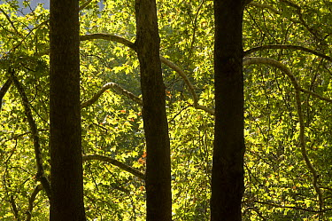 Oriental plane tree (Platanus orientalis) trunks, Meteora, Greece, October 2008  -  WWE/ Radisics/ npl