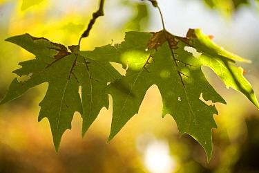 Oriental plane tree (Platanus orientalis) leaves, Meteora, Greece, October 2008  -  WWE/ Radisics/ npl