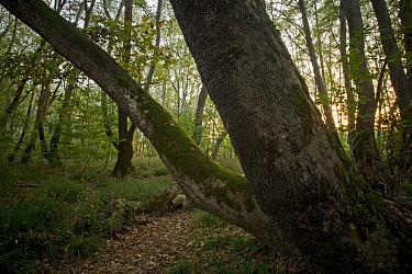 Oriental plane trees (Platanus orientalis) in Plane forest, Meteora, Greece, October 2008  -  WWE/ Radisics/ npl