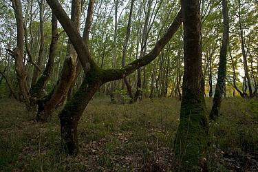 Platan Plane tree forest, Oriental Plane trees (Platanus orientalis), Meteora, Greece, October 2008  -  WWE/ Radisics/ npl