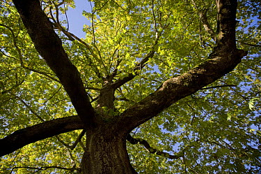 Oriental plane tree (Platanus orientalis) Metsovo town, Valia Calda, Pindos NP, Pindos Mountains, Greece, October 2008  -  WWE/ Radisics/ npl