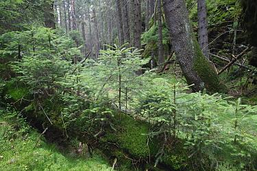Fallen tree trunk acts as nurse log for Spruce tree seedlings in forest, Brtnicky Hradek, Ceske Svycarsko, Bohemian Switzerland National Park, Czech Republic, September 2008  -  WWE/ Ruiz/ npl