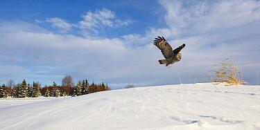 Female Great grey owl (Strix nebulosa) in flight in snow covered landscape, Oulu, Finland, February 2009  -  WWE/ Zacek/ npl